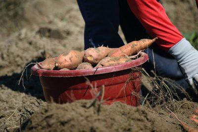 safardia post zoete aardappel