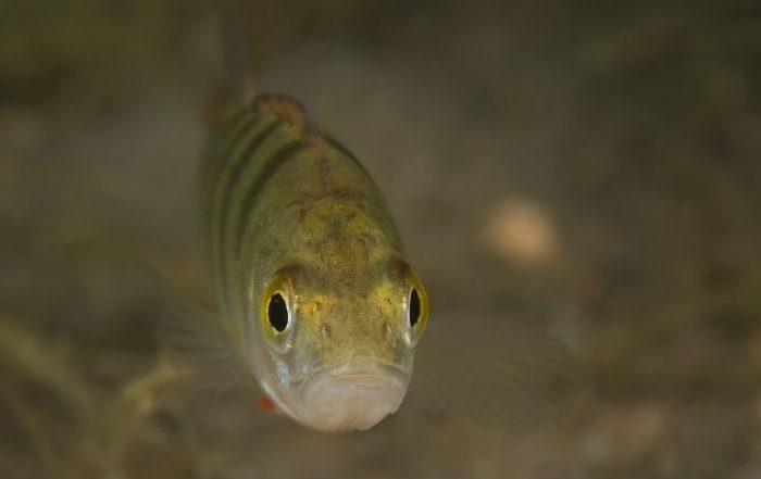 safardia post zoetwatervissen